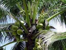 coconuts paleo diet